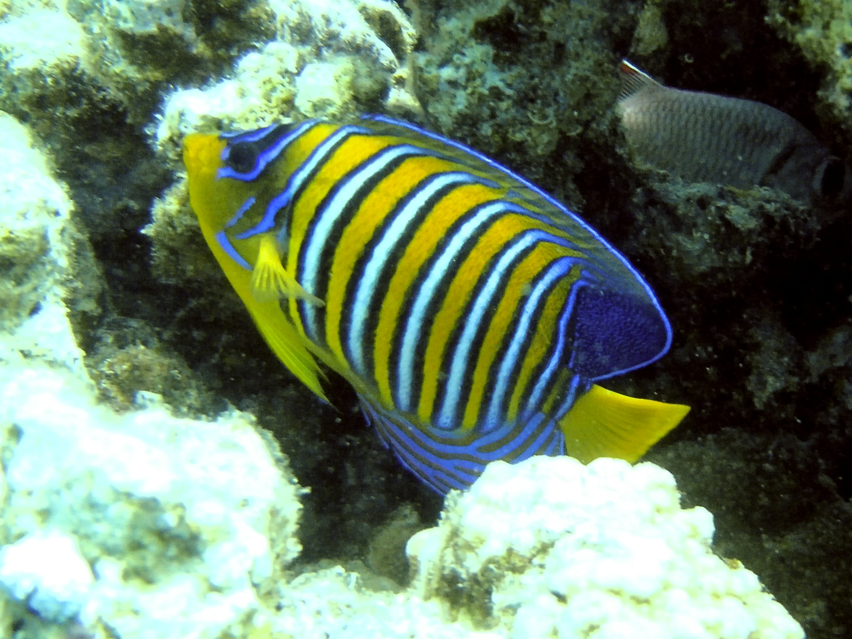 Royal angelfish