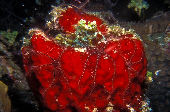 Brittle Stars on Red Sponge