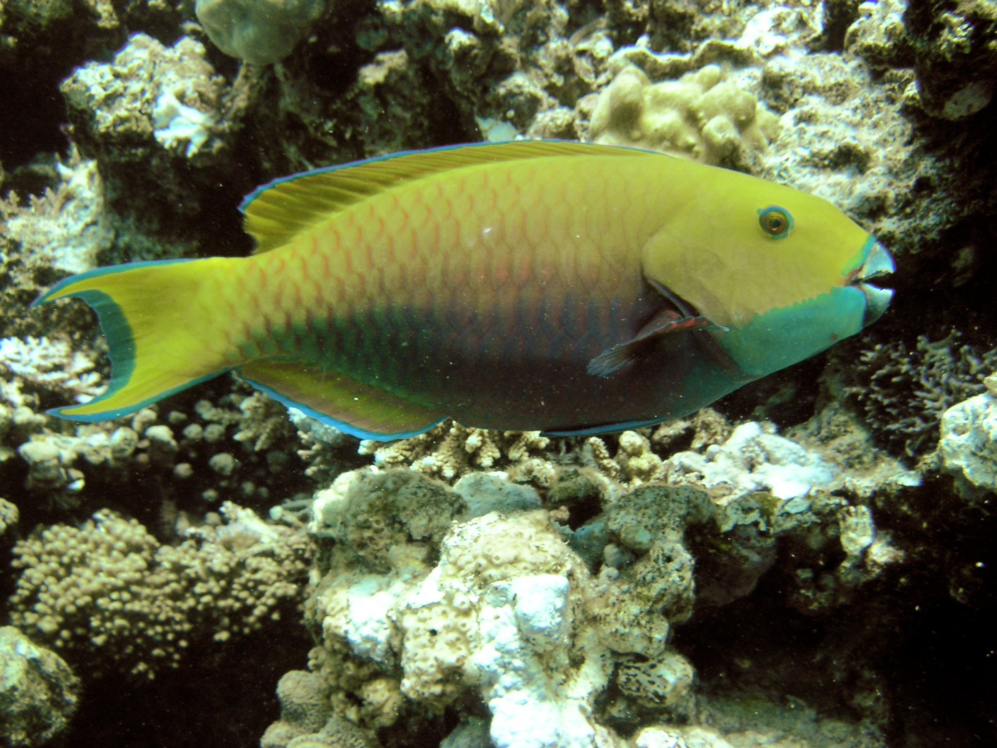 Female Sheephead parrotfish (Scarus gibbus)