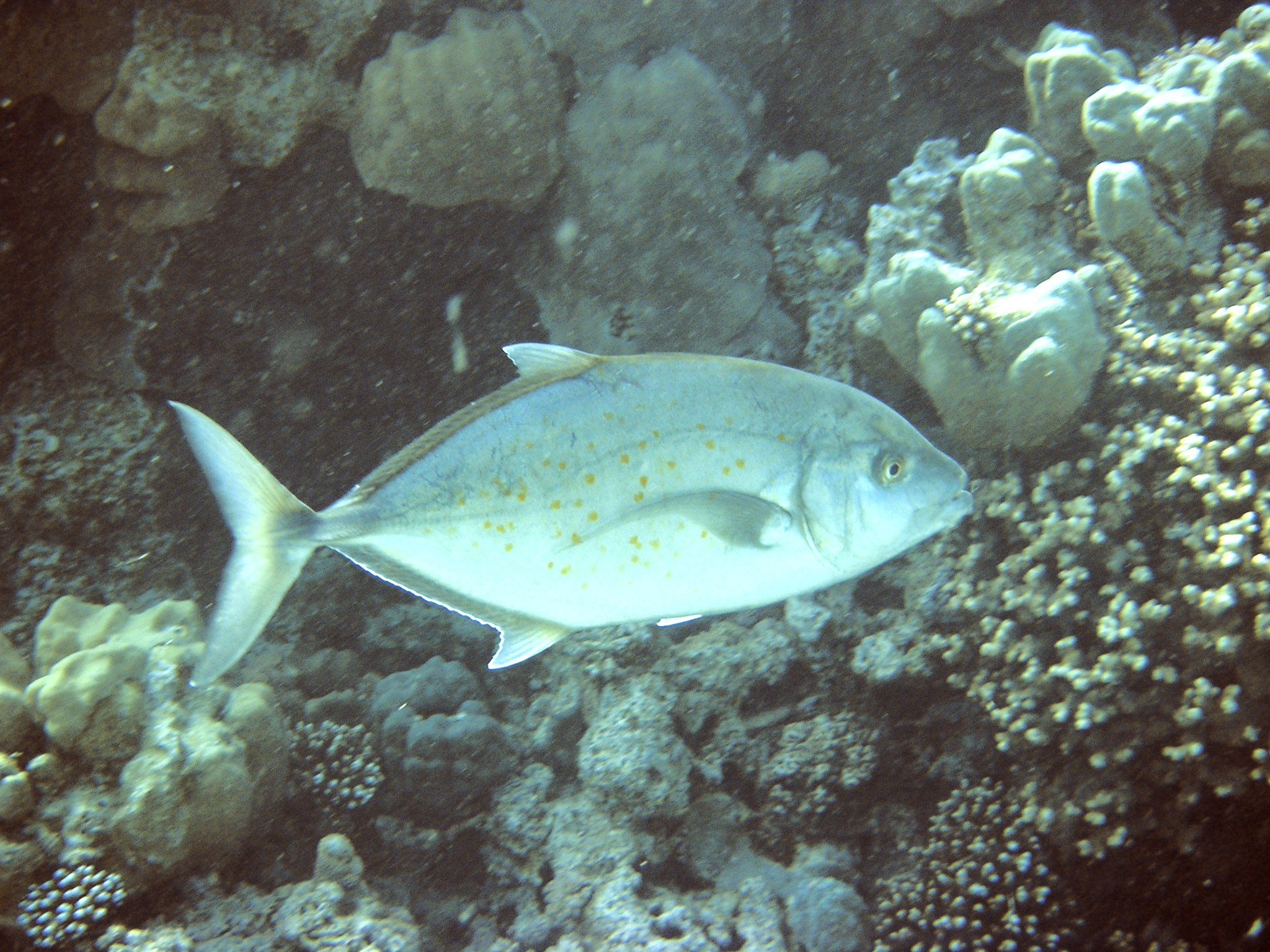 Yellowspoted Trevally
