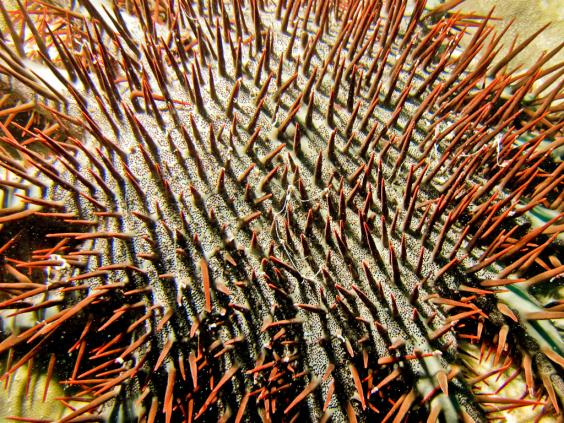 Crown of Thorns Seastar (COTS)