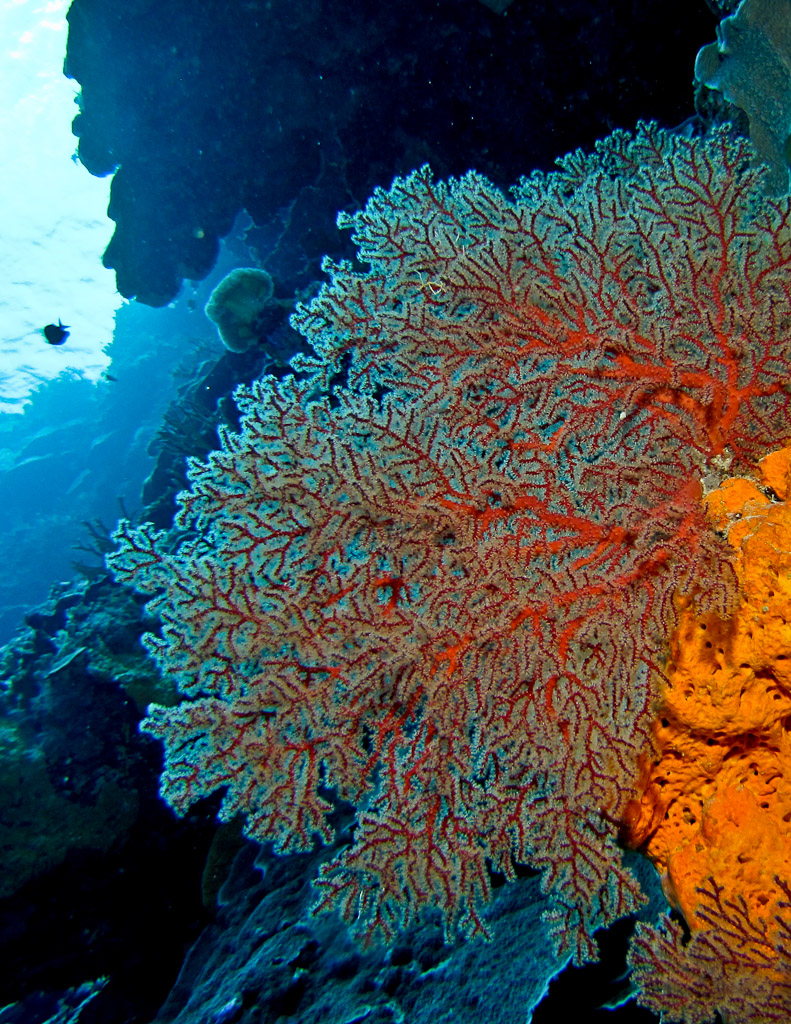 Sea Fan/Gorgonian
